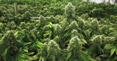 Does Marijuana Make You Stupid?